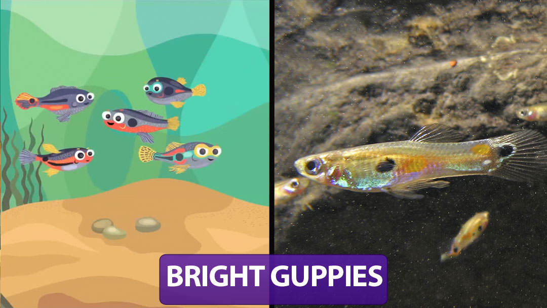 Bright Guppies