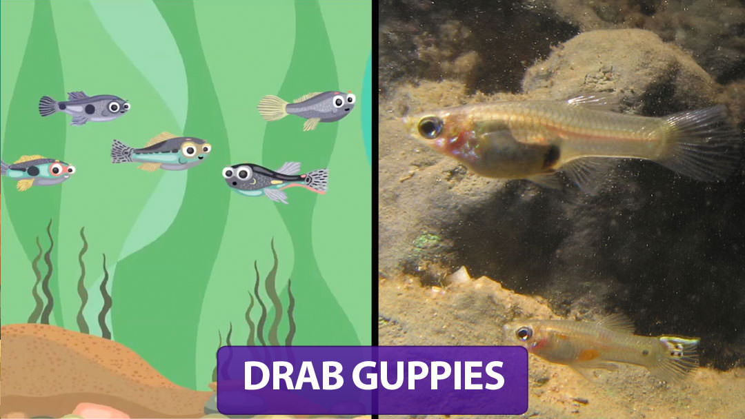 Drab Guppies
